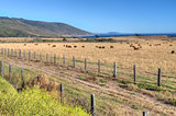 Grazing Cattle Overlooking Pacfiic Ocean