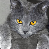 Gray British cat portrait