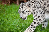 Beautiful portrait of Snow Leopard Panthera Uncia big cat