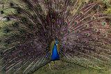 Fine peacock