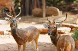 Siamese Eld's deers