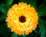 Orange marigold with pollinating insects