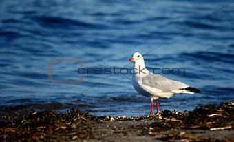 Sea seagull
