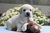 yellow labrador puppy with a toy
