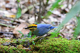 male blue pitta (Pitta cyanea)