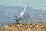 White-faced Heron, Australia