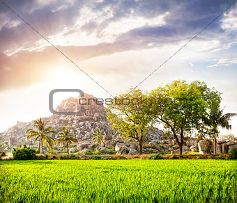 Rice plantation in Hampi