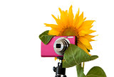 Sunflower photographer