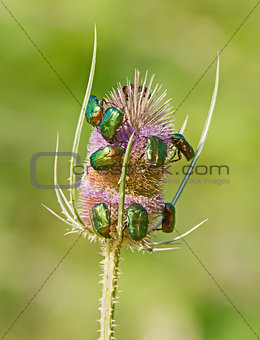 Green June Bugs