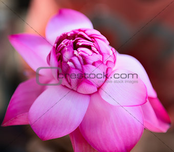 Pink fresh lotus bud flower
