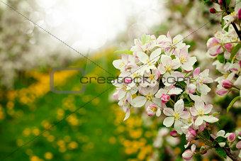 Blossom apples garden in the Spring