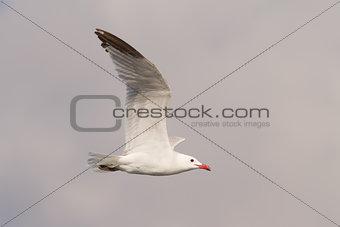 Audouin's Gull Flying