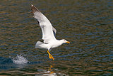 Yellow-legged Gull Feeding