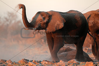 African elephants covered in dust