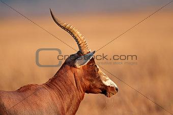 Blesbok antelope