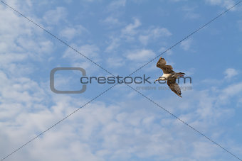 albatross flying on the background the sky