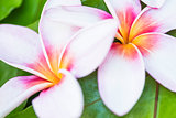 Two Hawaiian Plumerias