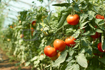 Tomatoes bunch in greenhouse