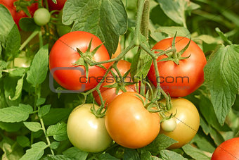 Tomatoes bunch close up