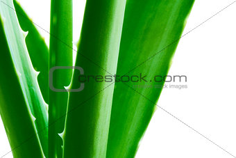 Green Aloe Vera Leafs Isolared on the White Background