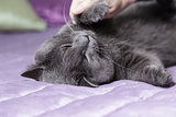 playful british shorthair cat close up portrait