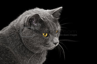 british shorthair cat looking back