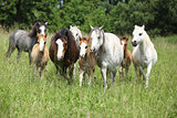 Batch of welsh ponnies running together on pasturage