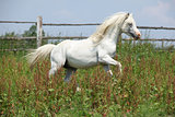 White welsh mountain pony stallion galloping