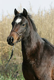 Portrait of welsh part-bred mare with halter