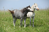 Two young ponnies standing on pasturage