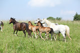 Mares and foals moving on pasturage
