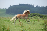 Beautiful haflinger running away
