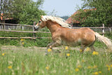 Chestnut haflinger running on pasturage