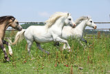 Young welsh ponnies running together on pasturage