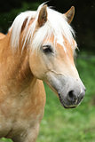 Gorgeous haflinger in front of dark background