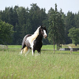 Gorgeous irish cob stallion running