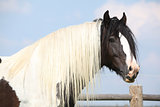 Gorgeous irish cob stallion with long mane