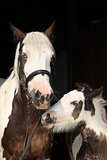 Nice irish cob with foal on black background