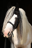 Nice irish cob on black background