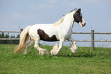 Nice irish cob running