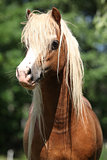 Portait of welsh mountain pony stallion on pasturage