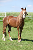 Beautiful welsh mountain pony stallion on pasturage