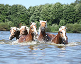 Batch of chestnut horses swimming in water
