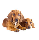 Two cute Dachshund Puppies sitting  / Isolated