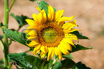 Beautiful yellow sunflower in the field