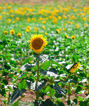 Beautiful yellow sunflowers in the field