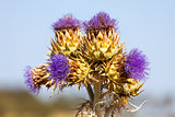 Vibrant milk thistle flowers