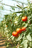 Tomatoes tassel in greenhouse