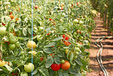 Ripening tomatoes in greenhouse