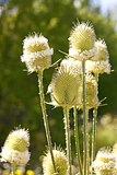 Teasel flowers close up